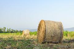 Rotolando (In Explore) (Francesca Murroni ┃Wildlife Photographer) Tags: bales haybales countryside country landscapes sardinia giba sardegna italia it balledifieno campagna natura paesaggi