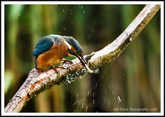 Kingfisher slaps his catch (awardphotography73) Tags: colours forestfarm wildlife nature cardiff wales wildbirds kingfisherfeeding kingfisher