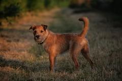 Cool Morning Walk. (canaimaman) Tags: dog pet animal portrait fujinon xf100400mm fujix fujixh1 fujifilm patterdale terrrier