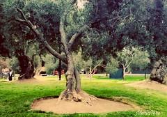 Parque de los Olivos -  Lima - Perú (MariaTere-7) Tags: parquedelosolivos olivares árboles lima perú maríatere7