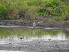 Grey Heron, Lapwing, Green Sandpiper, Burwell Fen (andyh866) Tags: cambridgeshire burwellfen