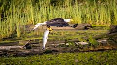 Seafood Breakfast (ausmc_1) Tags: 2018 nikkor2oo500f56vr baldeaglehailaeetusleucocephalus portalberni waterfront raptor d800 somassriver water birdofprey salmon canada nikon17tc britishcolumbia lowtide nature