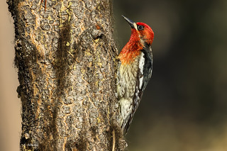 Red-breasted Sapsucker / Pic à poitrine rouge