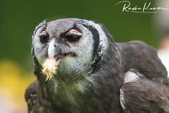 Lunch time! (rvk82) Tags: 2018 birds england june june2018 nikkor200500mm nikon nikond850 rvk rvkphotography raghukumar raghukumarphotography warwick warwickcastle wildlife rvkonlinecom rvkphotographycom rvkphotographynet unitedkingdom gb