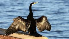 Australian Darter  -Waterfront Perth(31) (ailognom2005) Tags: australiandarter waterfrontperth perth australia westernaustralia birds wildlife