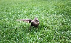 Born to fly (jeffhob) Tags: starling bird wildlife green grass south bank london jubilee gardens flight takingoff