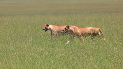 Twin sisters (Kaïyah) Tags: lion lioness hunt hunting predator carnivor plain masaimara national park conservation grass field kenya africa cat big félin felidae wildlife
