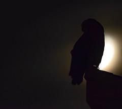 By the Light of the Moon (Susan Colosimo) Tags: greathornedowl owl nocturnal bubovirginianus silentflyer birdofprey raptor tigerowl hootowl handheld nightphotography nikon sigma birdphotography silhouette backlit moonlit moon