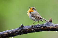 Robin (generalstussner) Tags: robin rotkehlchen vogel bird wildlife natur nature bokeh rain regen