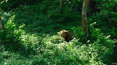 The golden streak (engineering.photos) Tags: lion golden zoo assam india green nikon tree guwahati male