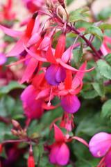 DSC_0638 Fuchsia (PeaTJay) Tags: nikond750 sigma reading berkshire lowerearley outdoors gardens flowers plants fuchsia