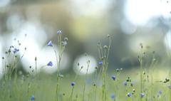 Growing tall (Wouter de Bruijn) Tags: fujifilm xt2 fujinonxf56mmf12r flower flowers flora nature outdoor bokeh blue green pastel soft depthoffield walcheren zeeland nederland netherlands holland dutch