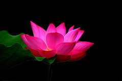 DSC_0121 Blooming Lotus (tsuping.liu) Tags: flowerotica outdoor blackbackground atmospher abigfave amazing aquaticplant aquatic bright blooming closeup depthoffield depth darkbackground ecology ecotour excellentflower flower feeling flowers flickr flowersinwild golden hilight image imagination its itsallaboutflowers lighting moment mood macro memory nature natureselegantshots natures perspective photoborder pattern plant photographt passion petal painting purity photos aquaplant red redblack recalling skylight texture visioionoutdoor vivid water waterfront zooming zoomin