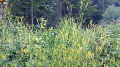 """Iller -der Fluss > Wildpflanzen im Illergries (warata) Tags: 2018 deutschland germany süddeutschland southern schwaben swabia oberschwaben upperswabia """"schwäbisches oberland"""" """"badenwürttemberg"""" badenwuerttemberg pflanze flower """"samsung galaxy note 4"""" iller """"illerder fluss"""" fluss rive pflanzen wildpflanzen illergries"""