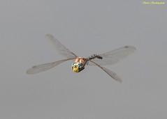 Variable Darner (sbuckinghamnj) Tags: yellowstone yellowstonenationalpark wyoming darner variabledarner dragonfly odonate