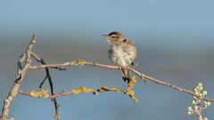 Sedge Warbler (Acrocephalus schoenobaenus) (Layzeesod) Tags: sedge warbler juvenile cock sigma 150600 wild bird