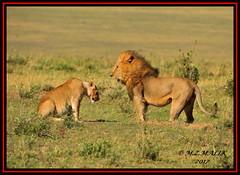 TENSE MOMENT BETWEEN THE KING OF JUNGLE AND THE LIONESS  (Panthera leo)....MASAI MARA....SEPT 2017 (M Z Malik) Tags: nikon d3x 200400mm14afs kenya africa safari wildlife masaimara keekoroklodge exoticafricanwildlife exoticafricancats flickrbigcats lionking lioness leo ngc npc