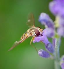 Bee (Venkyk) Tags: bee botaniska gothenburg purple macro insect micronikkor