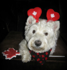 6/12B ~ Riley wishes everyone a very happy Canada Day! (ellenc995) Tags: riley westie westhighlandwhiteterrier canadaday birthday july1 12monthsfordogs18 thesunshinegroup alittlebeauty coth coth5 fantasticnature thegalaxy abigfave 100commentgroup sunrays5