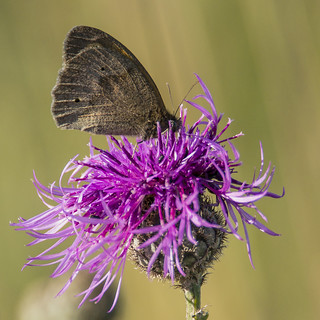 Butterfly on a Knapweed