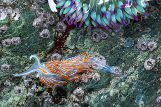 Opalescent Nudibranch at Point of Arches in Olympic National Park