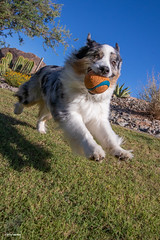 26/52 Fly like a dog and be happy! (Jasper's Human) Tags: aussie australianshepherd 52weeksfordogs 52wfd run ball dog chuckit shootfromthehip