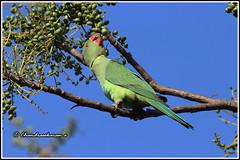 8002 - parakeet (chandrasekaran a 50 lakhs views Thanks to all.) Tags: parakeet birds nature india chennai canoneos80d tamronsp150600mmg2
