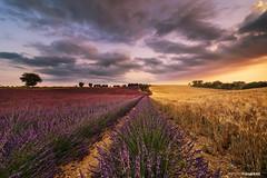 Gold & purple (Antoni Figueras) Tags: valensole france europe lavander landscape sunset fields clouds sonya7rii laowa12 wheat