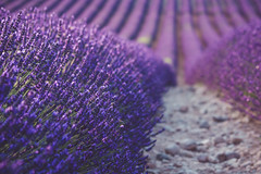 especially for Cat, I remember about you (Smo_Q) Tags: france provence lavander field pentaxk3ii