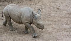lulu vogues- Cleveland Zoo (Tim Evanson) Tags: clevelandzoo clevelandmetroparks clevelandmetroparkszoo clevelandohio zoo dicerosbicornismichaeli easternblackrhino rhino blackrhino