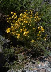 Pultunaea?, Grampians National Park, Victoria, Australia (RonParsonsflowershots) Tags: pultunaea grampiansnationalpark victoria australia