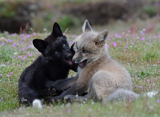 The Cutest Fox Fight - Two Kits Play Fighting - 1897b+