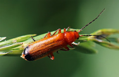 Common Red Soldier Beetle (TomIrwinDigital) Tags: