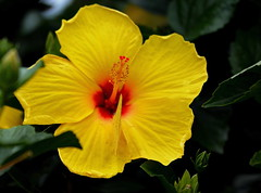 Attractive Hibiscus (npbiffar) Tags: outdoor garden plant hibiscus yellow butterfly npbiffar flower macro 150mm sigma d7100 nikon coth5 ngc npc