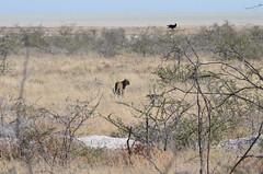 DSC_2466 (Andrew Nakamura) Tags: etosha namibia etoshanationalpark projectdragonfly earthexpeditions mammal bigcat felid leopard africanleopard animal wildlife