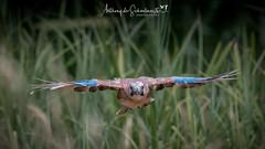 Jay in Flight (Anthony de Schoolmeester) Tags: jay jaybird bird birdinflight wildbird wildlife wildlifephotography nature naturephotography forestfarm nikon nikond500 nikonafs20050056e wingspan feathers