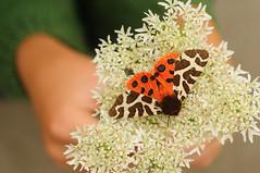 Garden Tiger (© Catriona Walker) Tags: moth gardentiger arctiacaja catrionawalker