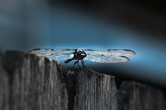 Louisiana Dragonfly (_Lionel_08) Tags: louisiana dragonfly fence bug insect wings blue summer