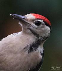 The Great Spotted Woodpecker (Dendrocopos major) (John Woodward Photography) Tags: thegreatspottedwoodpecker birds british britain natureatitsbest mothernature canon canondslr canoneos canonllenses canon5dmarkiv llenses