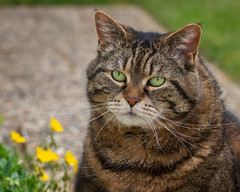 Dignity (FocusPocus Photography) Tags: cleo katze cat chat gato tier animal haustier pet garten garden
