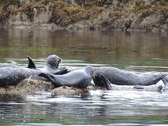DSC02467 (jrucker94) Tags: ketchikan alaska coastalwildlifesearch excursion cruise port nature seal colony seals