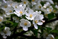 Crabapple Blossoms (Jay Janssen) Tags: crabapple blossoms tree bokeh spring flowers bloom