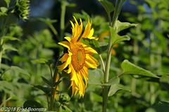 """During a walk in the village with Jetje, """"Sunflower"""" (Fred / Canon 70D) Tags: sunflower flower canon canon70d canoneos eefde ef100mm f28l macro is usm ef100mmf28lmacroisusm achterhoek gelderland closeup meadow zonnebloem"""