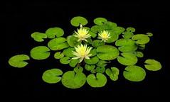 lily pads (eDDie_TK) Tags: colorado co denverco denver denverbotanicgardens lilypads waterlily