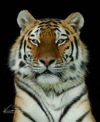 Alisha (yadrad) Tags: tiger amur amurtiger dartmoorzoo dartmoorzoologicalpark sparkwell animal carnivore bigcats cats