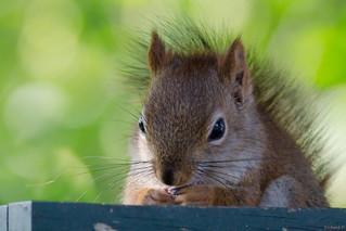 Écureuil roux, Red squirrel, PQ, Canada - 5501