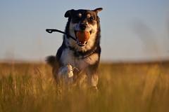 16-july-Venus-Patterson-Sunset_354 (Stefán H. Kristinsson) Tags: venus dog hundur sunset reykjanes iceland ísland playing july summer 2018 nikond800 nikon70200f4 action
