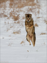 Eastern Coyote (Jim Buescher Photography) Tags: easterncoyote mammal hunting predator winter