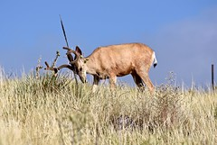 The Bulldozer:  Mule Deer Buck Scratches His Forehead on a Miner's Candle Plant (Ginger H Robinson) Tags: muledeer deer buck mammal animal scratch itch forehead velvet antlers grass yuccas minerscandle plant summer morning rockymountain frontrange colorado