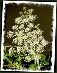 Natural lace. (Country Girl 76) Tags: wild flowers canal bank summer lace leaves cow parsley plant